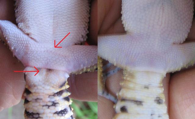 Reptilus project dimorphisme sexuel gecko léopard.png