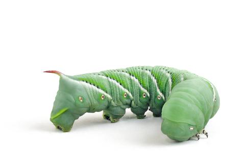 Reptilus Project Ver de Goliath