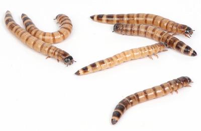 Reptilus Project Ver de Farine