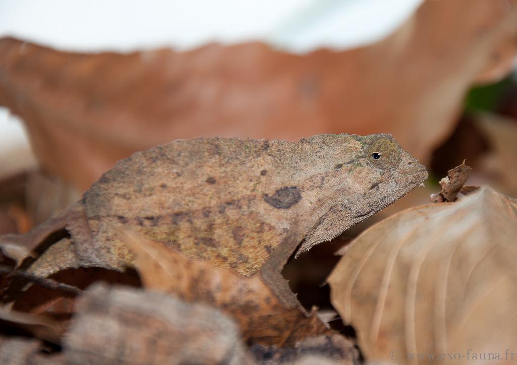 Reptilus project Rampholeon brevicaudatus