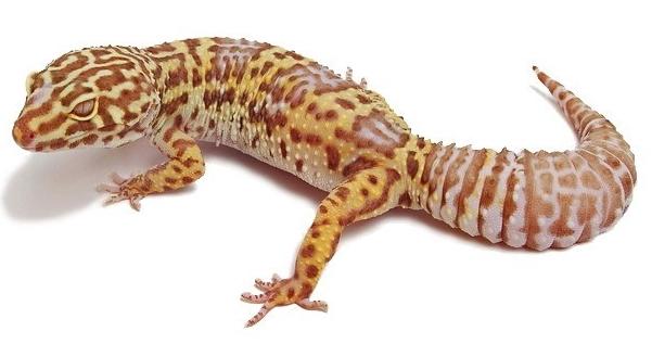 Reptilus project bell albino