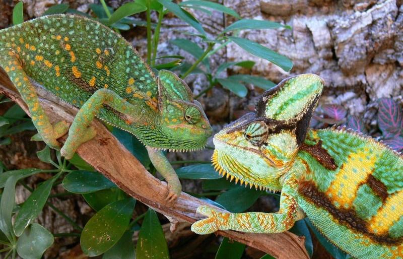 Reptilus project cameleon calyptratus dismorphisme sexuel