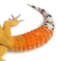 Reptilus project carrot tail