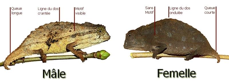 Reptilus project dimorphisme sexuel rampholeon brevicaudatus