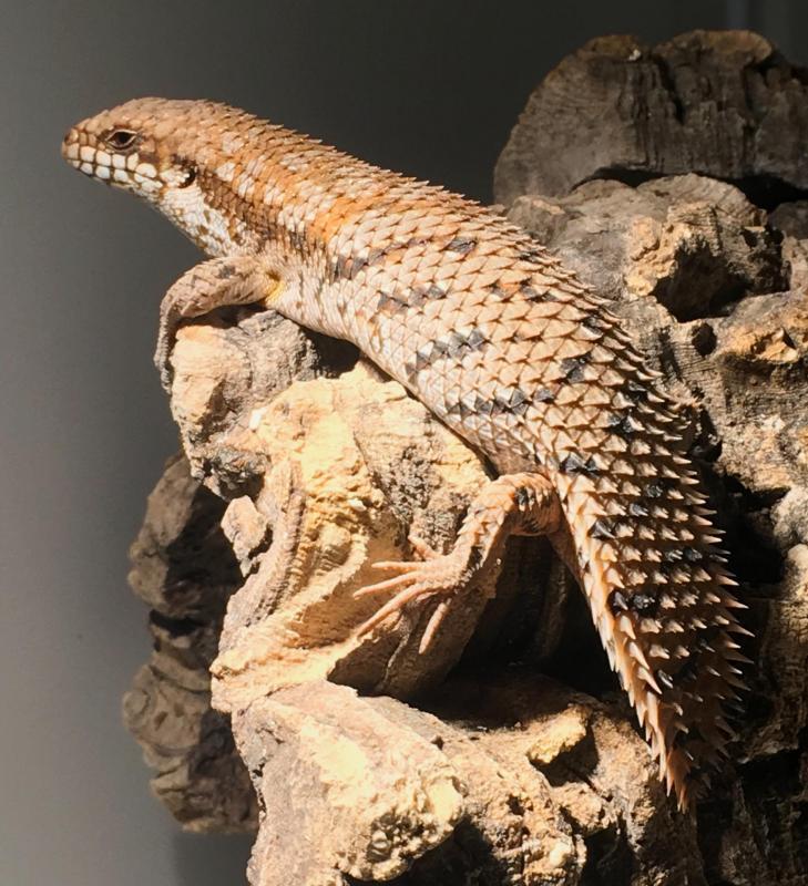 Reptilus project egernia depressa