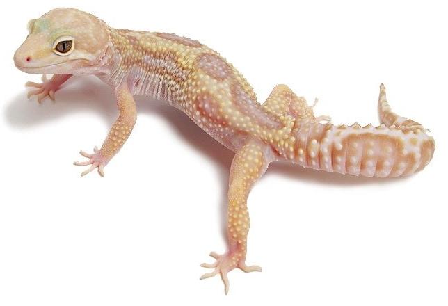 Reptilus project rainwater albino