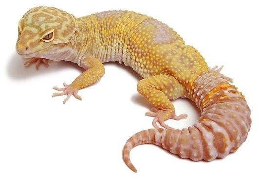 Reptilus project tremper albino