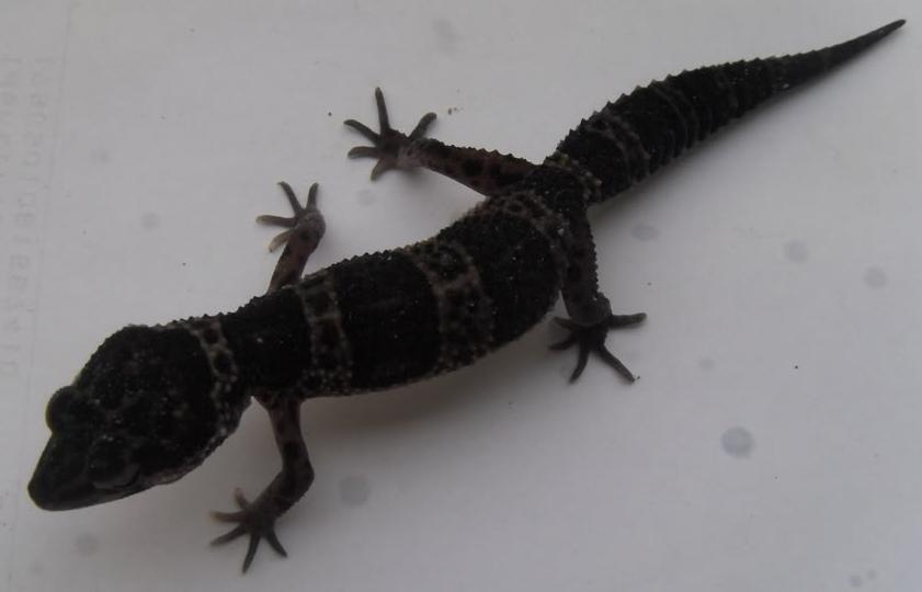 Reptilus project hyper melanistic