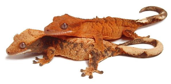 Reptilus Project Gecko à Crête
